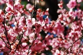 悉尼Auburn樱花节开幕 本周末将迎最美花潮