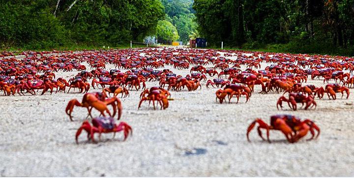 【生活】澳洲红蟹大迁徙 数量惊人场面震撼