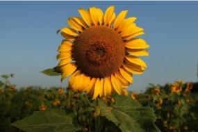 【马航】悲伤的向日葵:MH17空难周年祭,血色后轮回的新生命,将向着阳光,生根发芽