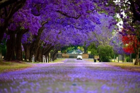 【旅游】悉尼Top5欣赏蓝花楹好地点 邂逅紫色浪漫