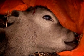 【震惊】这个偷拍新西兰奶牛的纪录片彻底震惊了世界….