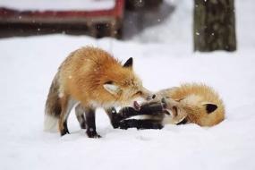 你个狐狸精,我稀罕你!