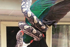 【实拍】澳洲巨蟒活吞国王鹦鹉,屋主都吓尿了……