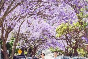 蓝花楹盛开的季节,引来大量游客拍!拍!拍!