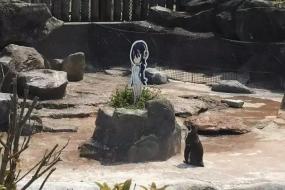你一定不知道这只日本明星企鹅会爱上谁!