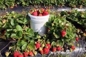 在悉尼不可错过的水果采摘!隔着屏幕都是水果香~